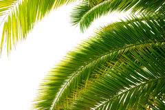 Leaves of palm. Trunk and leaves of palm tree on a white background Stock Photography