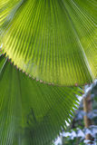 Leaves of palm Stock Photography