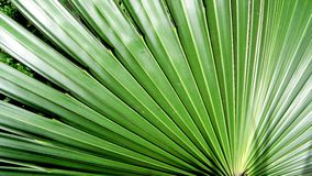 Leaves of palm fanning out Stock Photography