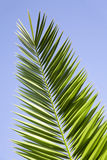 Leaves of palm tree. On a blue sky background Royalty Free Stock Photos