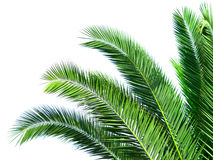 Leaves of palm tree. Isolated on white background Royalty Free Stock Photos