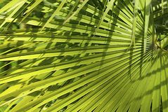Leaves of palm tree. Macro image of a beautiful tropical palm leaf stock photos