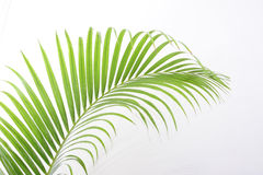 Leaves of palm tree Royalty Free Stock Photography
