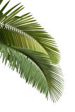 Leaves of palm tree royalty free stock photo