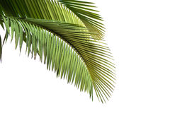 Leaves of palm tree Royalty Free Stock Photos