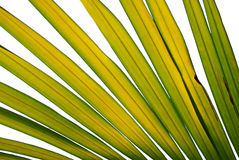 Leaves of palm tree vector illustration