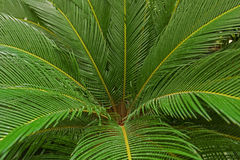 Leaves of palm tree. Arch background bend botany branch bubble bush close close-up closeup coconut curl curly curve cycad cycadaceae cycas delicate droop Royalty Free Stock Photos