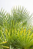 Leaves of palm tree. Royalty Free Stock Photos
