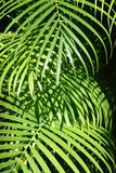 Leaves of a palm tree. Royalty Free Stock Photos