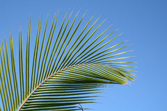 Leaves of palm tree. Isolated on blue background Stock Photo