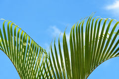Leaves of palm tree against the clear blue sky Royalty Free Stock Photo