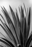 Leaves of a palm tree. Beautiful black and white shot of leaves of a palm tree royalty free stock photo
