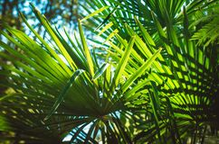 Leaves of a palm tree on blue sky background. Bright green leaves of a palm tree on blue sky background Stock Photos
