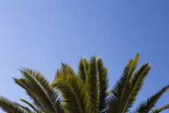 Leaves of palm tree on blue sky.  Copy space Stock Image