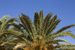 Leaves of palm tree on blue sky.  Copy space Stock Photo