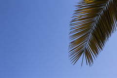 Leaves of palm tree on blue sky.  Copy space Royalty Free Stock Photography