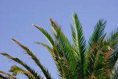 Leaves of a palm tree and blue sky Stock Photos