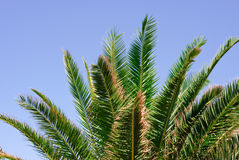 Leaves of a palm tree and blue sky Royalty Free Stock Images