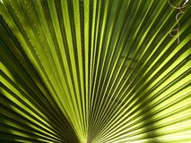 Leaves of a palm tree close up Stock Image