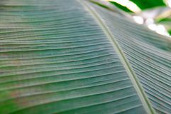 Leaves palm tree close up. Summer vegetative background, selective focus. royalty free stock photography