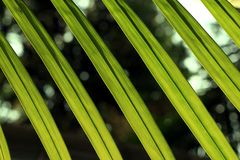 The leaves of a palm tree. In closeup, with light in the back Royalty Free Stock Photo