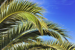 Leaves of a palm tree. Exotic leaves of a palm tree under blue sky Stock Photography