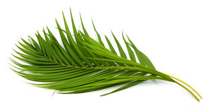 Leaves of palm tree. Green leaves of palm tree isolated on white background Stock Photo