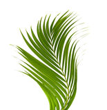 Leaves of palm tree Royalty Free Stock Images