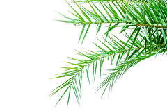 Leaves of palm tree isolated on white background Royalty Free Stock Image
