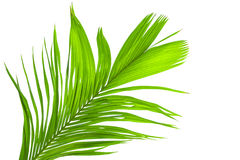 Leaves of palm tree isolated on white background Stock Photos