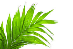 Leaves of palm tree isolated on white background Stock Images