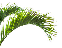 Leaves of palm tree isolated on white background Royalty Free Stock Photos