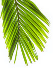 Leaves of palm tree isolated on white background Royalty Free Stock Images