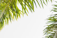 Leaves of palm tree isolated Royalty Free Stock Photography