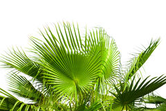 Leaves of palm tree isolated on white Stock Photo