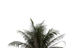 Leaves of palm tree on isolated and white background. Royalty Free Stock Photo