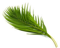 Leaves of palm tree. Isolated on the white background Stock Image