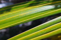 Leaves of palm tree lit by the sun Royalty Free Stock Photo