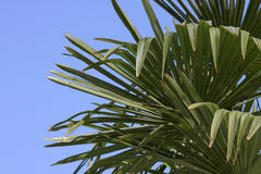 Leaves of palm tree Stock Images