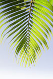 Leaves of palm tree Royalty Free Stock Image