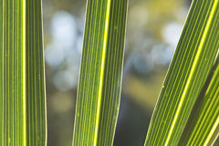 Leaves of a palm tree photographed close up. Stock Photos