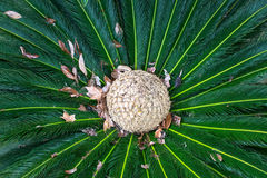 Leaves of palm tree top view similar to peacock feathers Stock Image