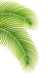 Leaves of palm tree on white background. Royalty Free Stock Image