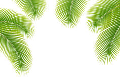 Leaves of palm tree on white background. Illustration Stock Photo
