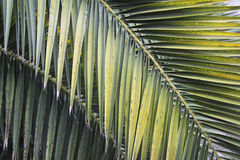 Leaves of palm tree Stock Photos