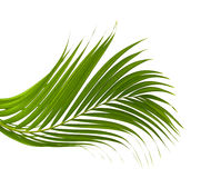Leaves of palm tree on white background. Stock Photos