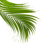 Leaves of palm tree on white background. Royalty Free Stock Photography