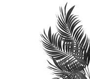 Leaves of palm tree on white background Royalty Free Stock Images
