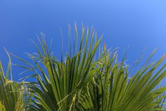 Leaves of palm trees against the blue sky Stock Photo
