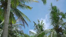 Leaves of Palm Trees on the Background with Blue Sky. Indonesia. Rainforest in sunny weather. Look up. Cloud on the blue sky and coconut palms with leaves and stock footage